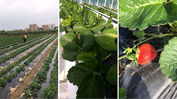 广东草莓碳菌肽素有机肥实验基地