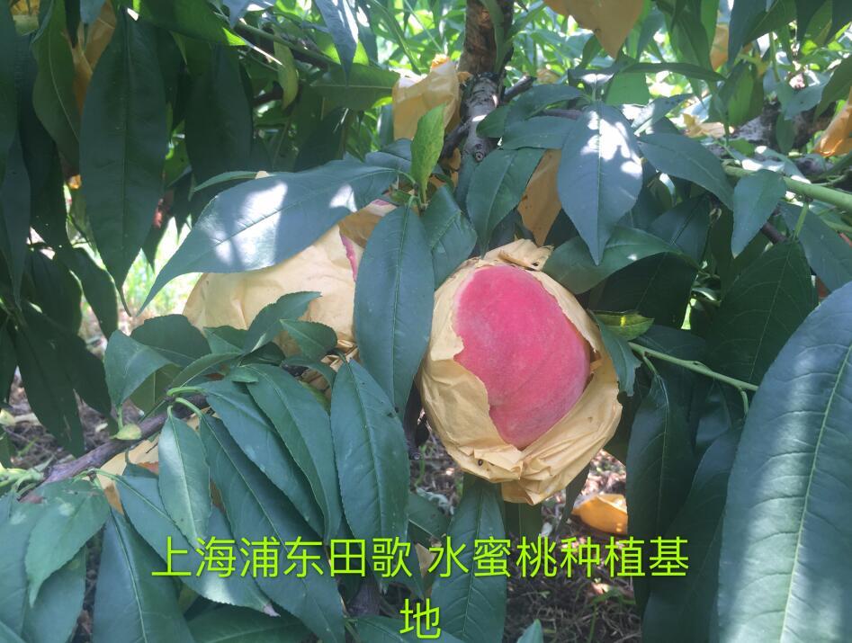 上海浦东水蜜桃碳菌肽素有机肥种植基地
