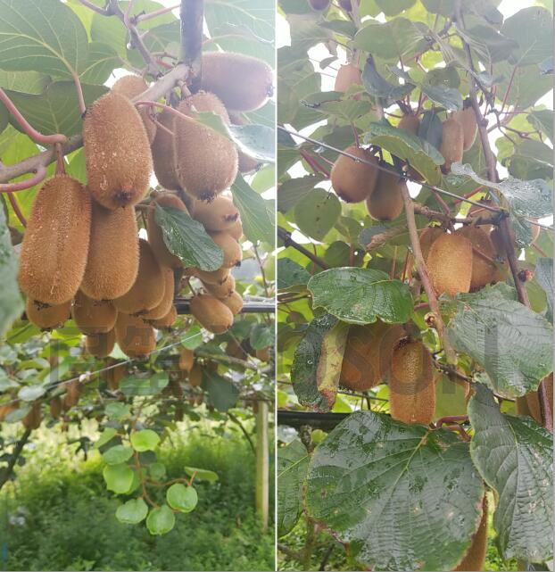 贵州猕猴桃碳菌肽素有机肥试验基地