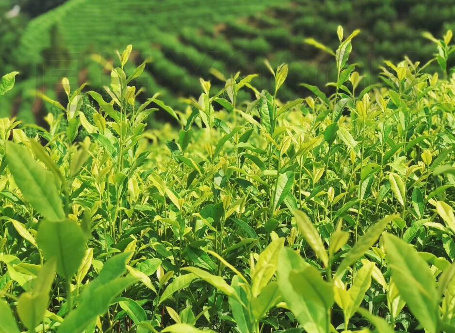 茶园想挣钱?这里有一个小秘密!|专业老师为您讲解茶树施肥原则