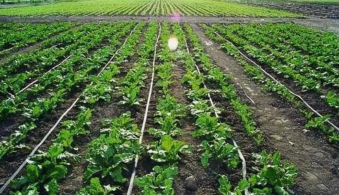 今年农作物滴灌及肥料施用注意事项