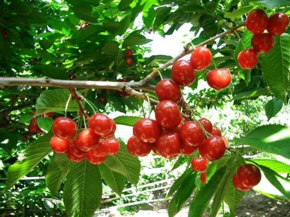 大樱桃树为什么要夏季修剪?夏剪好处与注意事项有那些