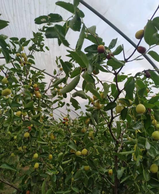 江西宜春中秋酥脆枣碳菌肽素有机肥种植基地
